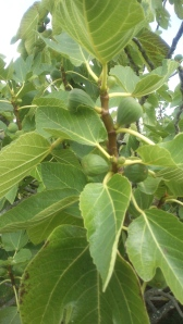 A fig tree (Ficus carica) in June