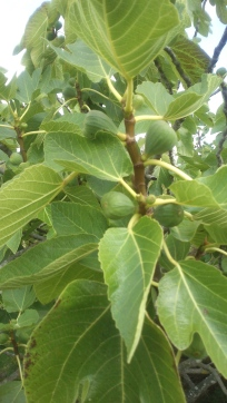 A fig tree (Ficus carica) in June