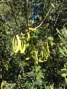 Unripe pods on a carob tree (Ceratonia siliqua)