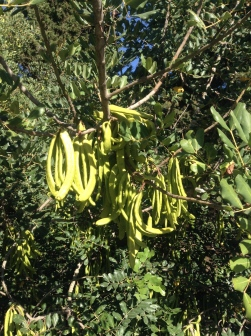 Unripe pods on a carob tree (Ceratonia siliqua)
