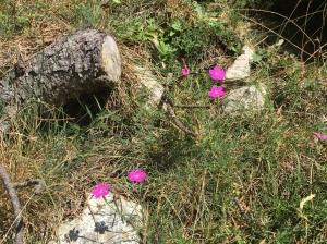 Maiden pinks. Dianthus deltoides