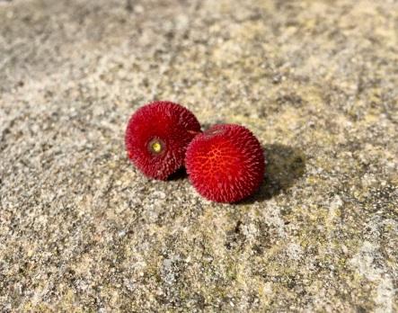 Arboç berries